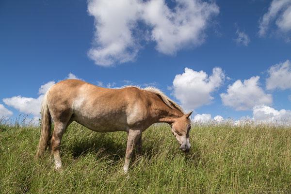 Pferde auf dem Deich