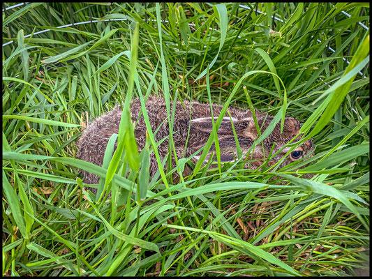 der kleine Hase hatte sich zum Glück bewegt, so konnten wir ihn unter dem hohen Gras bemerken und dann sichern.
