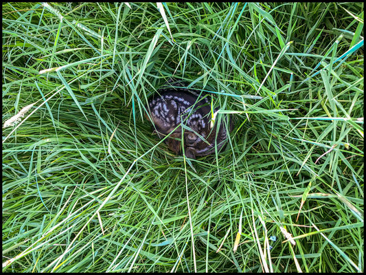 ein Kitz liegt versteckt im Gras