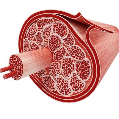 Faszien und Muskeln