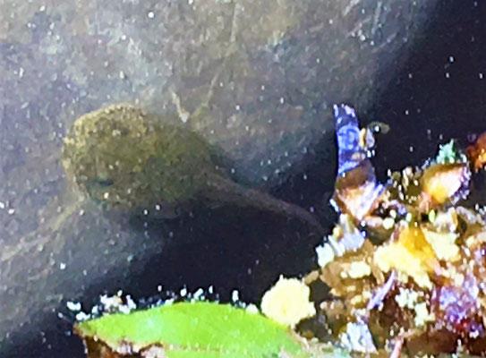Kröten-Baby, deutlich weniger schwarz als andere KaulQuappen