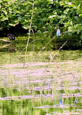 Spiegelung von Eisvogel und Teichralle