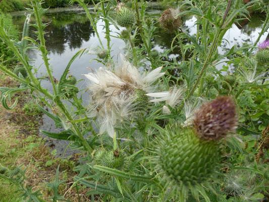 Kratzdistel-Samen, fertig zum Abflug