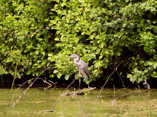 Graureiher am oberen Teich