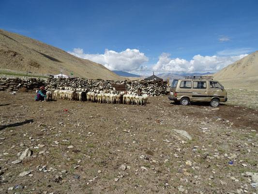 Traite des chèvres avec des nomades Changpas