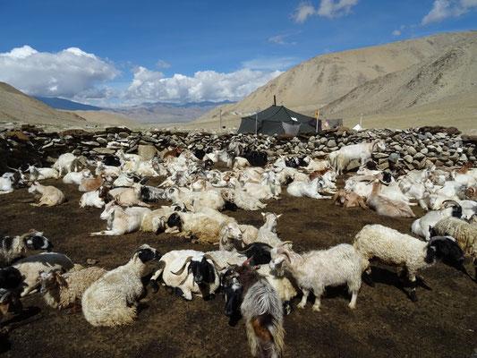 Chèvres Pashminas