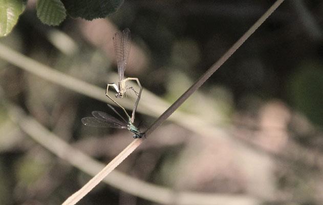 Verliebte Libellen - Mirjam