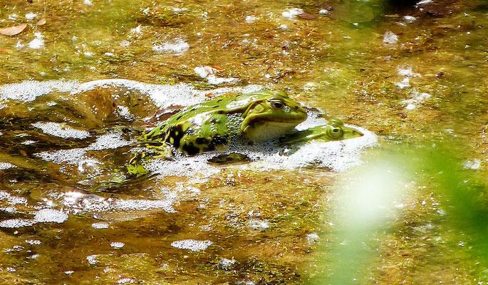 Wasserfrösche verteidigen ihr Revier, indem sie Rivalen unter Wasser zu drücken versuchen.