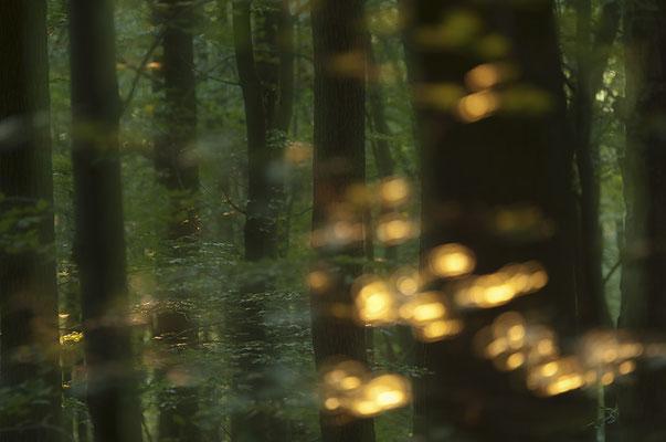 Die untergehende Sonne zeichnet bunte Lichtreflexe auf die Blätter der Bäume (Odenwald)