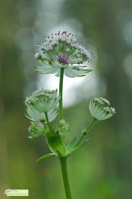 Die Große Sterndolde (Astrantia major) ist eine beliebte Gartenpflanze, die es feucht, schattig und lehmig mag [UKR20180609_0423].
