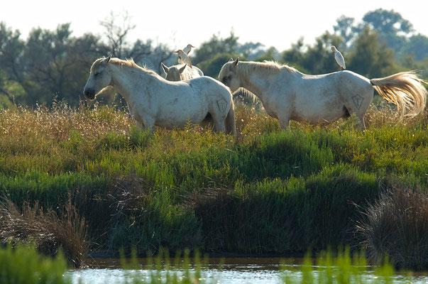 Weiße Pferde der Camargue mit reitenden Kuhreiher [UKR20180709_0063]