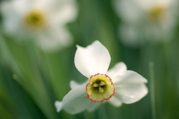 Dichter-Narzisse (Narcissus poeticus) [UKR20110428_0519]
