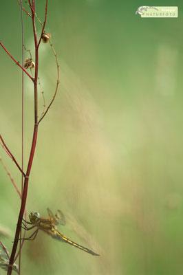 Die Frühe Heidelibelle (Sympetrum fonscolombii) profitiert von der Klimaerwärmung, da sie ursprünglich im Mittelmeerraum vorkommt und ihr Verbreitungsgebiet nach Norden ausdehnt. Das Bild zeigt ein weibliches Exemplar im Pfrunger Ried [UKR20180612_0239].