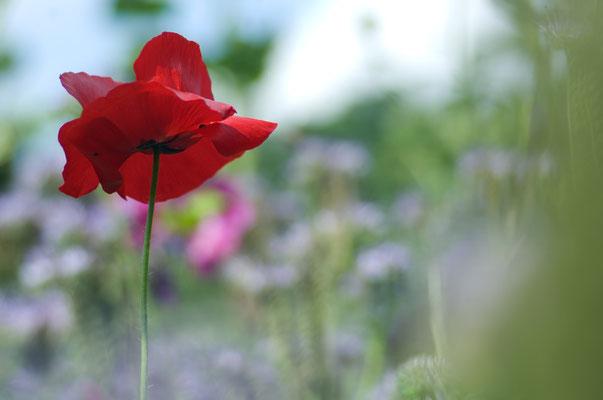 Es gibt wohl kaum eine auffälligere Feldblume als den Klatschmohn (Papaver rhoeas) [UKR20110623_0576]