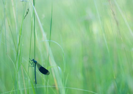 Gebänderte Prachtlibelle (Calopteryx splendens) [UKR20120605_0236]