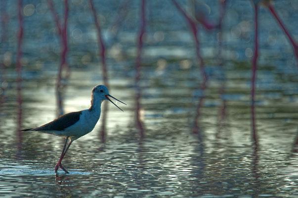 Stelzenläufer (Himantopus himantopus) und Flamingobeine [UKR20180709_0549]