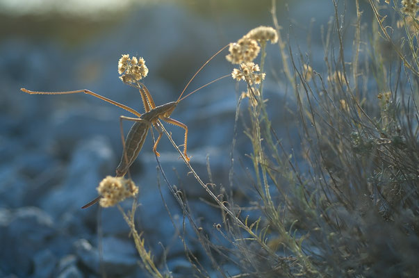Saga pedo: Eines der seltensten Insekten in Europa [UKR20120824_0114]