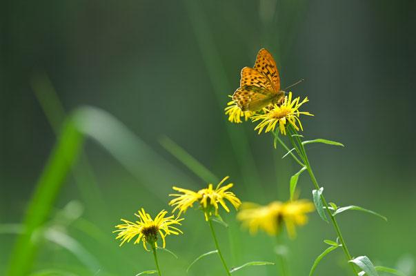 Kaisermantel (Argynnis paphia) auf Ochsenauge (Buphthalmum salicifolium) [UKR20090721_0111]