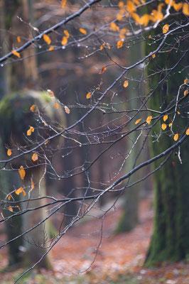 Herbstwald bei Olfen (Hessischer Odenwald) [UKR20101111_0058]