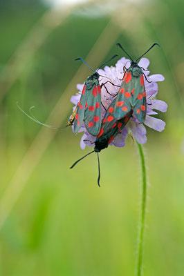 Blutströpfchen (Zygaena filipenduala) auf einer Witwenblume [UKR20130705_0149]