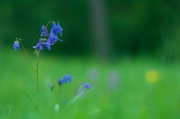 Wald-Akelei (Aquilegia vulgaris) [UKR20090521_0082]