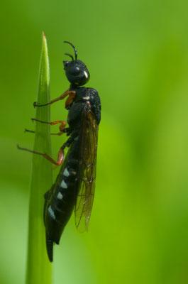 Die Keulenwespen (Sapyga decemguttata) sind Brutparasiten bei Wildbienen [UKR20100601_0129]