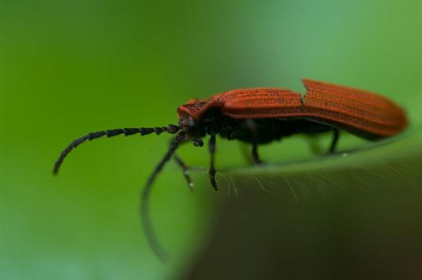 Verletzter Feuerkäfer (Lygistopterus sanguineus) [UKR20130509_0531]