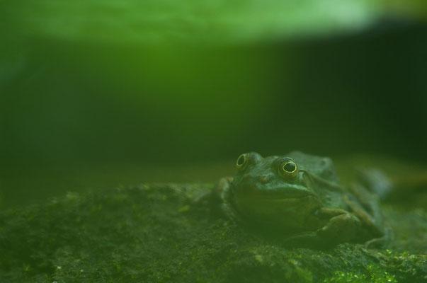 Wasserfrosch (Rana lessonae) [UKR20180612_0248]