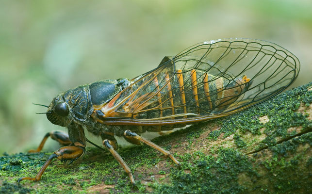 Bergzikade (Cicadetta montana) [UKR20110624_0520]