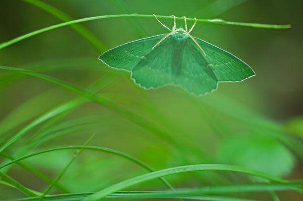 Das Grüne Blatt (Geometra papilionaria) ist ein hübscher Nachtfalter [UKR20110621_0329]