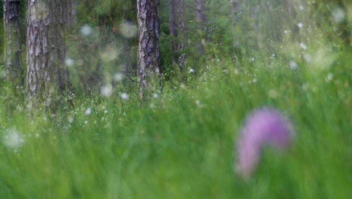 Graslilienlichtung [UKR20110703_0605]