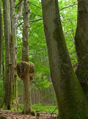 Buchengreise im Laubmischwald bei Beerfelden [UKR20080716_0023]