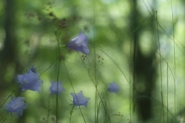 Rundblättrige Glockenblume (Campanula rotundifolia) [UKR20180630_0283]