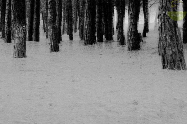 Abstrakte Ansicht eines Kiefernwaldes [UKR20180628_0339]