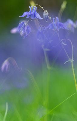 Wald-Akelei (Aquilegia vulgaris) [UKR20100605_0147]
