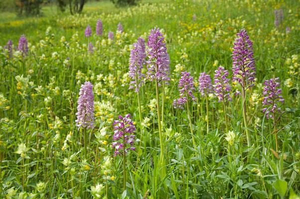 Wunderschöne Trockenwiese mit Helm-Knabenkraut (Orchis militaris) und Klappertopf (Rhinantus spec.) [UKR20100527_0022]