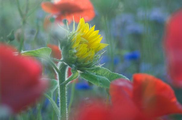 Sonnenblume und Mohn, das perfekte Sommerduo [UKR20110802_0124]