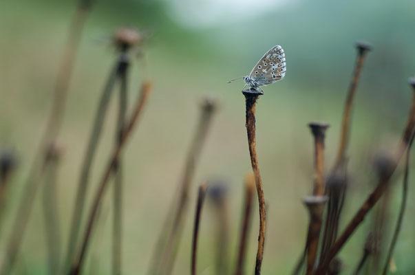 Himmelblauer Bläuling (Polyommatus bellargus) [UKR20110427_0141]