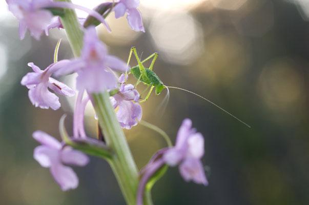 Laubheuschreckennymphe (Tettigoniidae) [UKR20090613_0155]