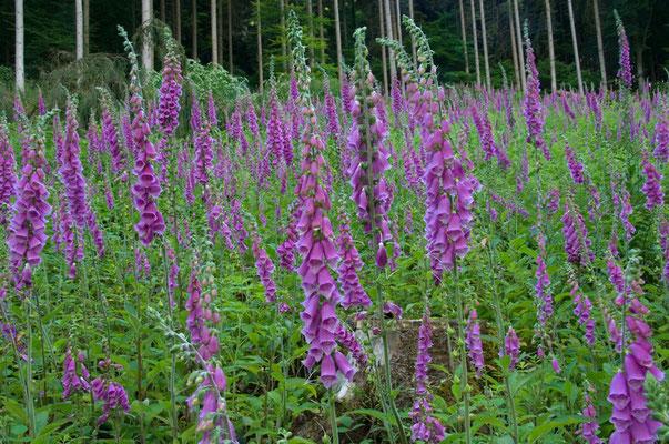 Der Fingerhut gehört zu den Pionierpflanzen, die sich auf Kahlschlagflächen und Waldlichtungen gegenüber anderen Pflanzen gut behaupten [UKR20090616_0055]