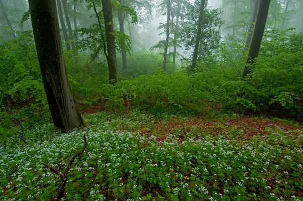 Waldmeisterwald im Nebel [UKR20110428_0267]