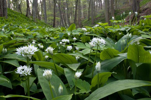 Bärlauch (Allium ursinum) ist eine kulinarische Offenbarung [UKR20110408_0041]