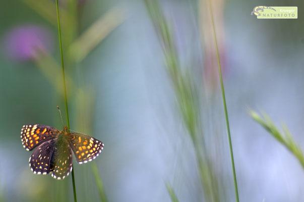 Der Baldrian-Scheckenfalter (Melitaea diamina) gehört zu den Edelfaltern. Die Raupen bevorzugen die Blätter des Baldrians. Man findet den hübschen Falter vor allem auf alpinen Feuchtwiesen. [UKR20180614_0460]