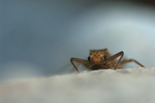Steinfliegenlarve (Plecoptera spec.) [UKR20180715_0684]