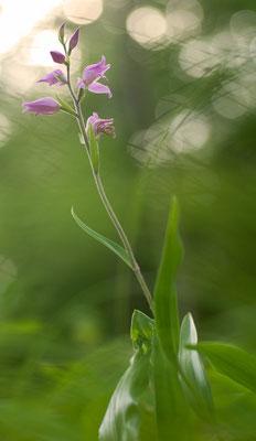 Das Rote Waldvögelein (Cephalanthera rubra) ist kein Vogel, sondern eine zauberhafte Orchidee [UKR20110605_0185]