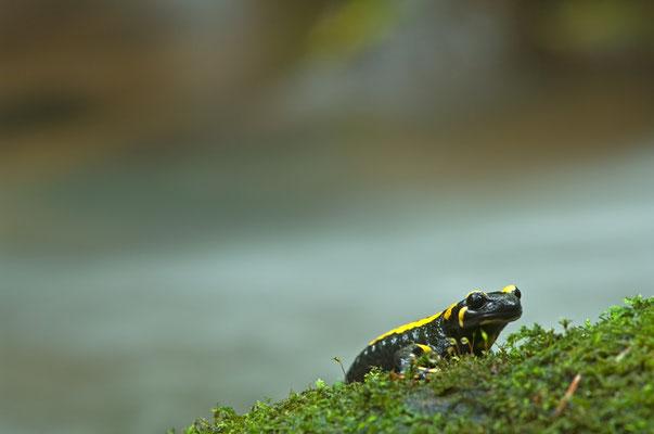 Feuersalmander (Salamandra terrestris) am Mittelgebirgsbach [UKR20101002_0192]