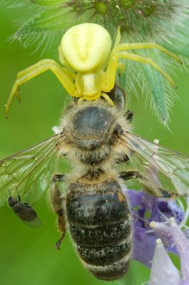 Veraenderliche Krabbenspinne (Misumena vatia) mit erbeuteter Honigbiene [UKR20100702_0260]