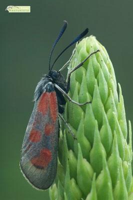 Wegen den markanten roten Flecken wird das Sechsfleck-Widderchen auch Blutströpfchen genannt. Die auffällige Flügelzeichnung soll potentiellen Fressfeinden signalisieren: Bitte nicht fressen, ich bin giftig! [UKR20180608_0316]