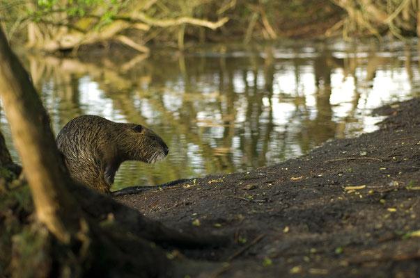 Nutria (Myocastor coypus) [UKR20120424_0360]