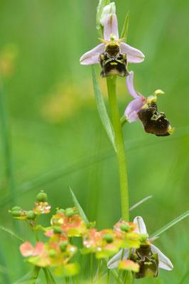 Hummel-Ragwurz (Ophrys holoserica) [UKR20100601_0279]